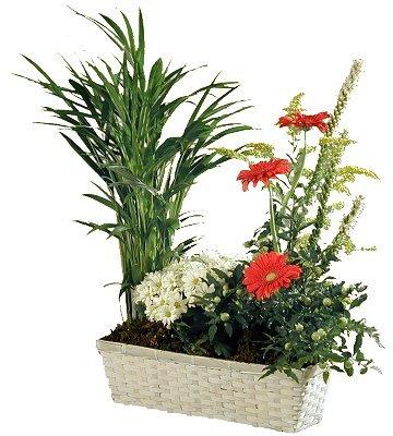 pot et fleur plant arrangement in country basket. Black Bedroom Furniture Sets. Home Design Ideas